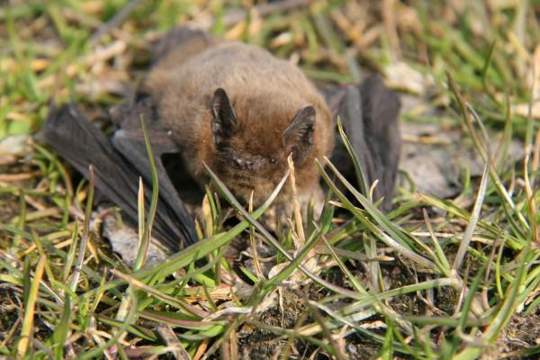 Chauve souris dans la zone naturelle de Condé